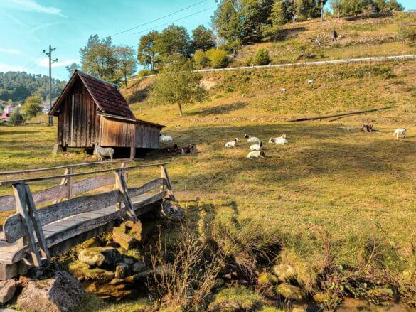 Ziegenweide in Forbach Bermersbach