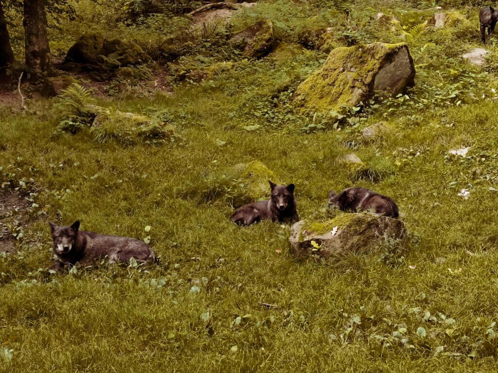 Wölfe in der Eifel